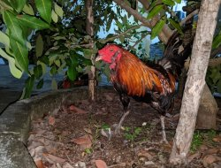 Pemain Judi Sabung Ayam Diciduk Jatanras Polres Mempawah